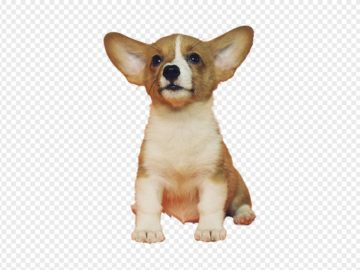 corgi puppy dog png
