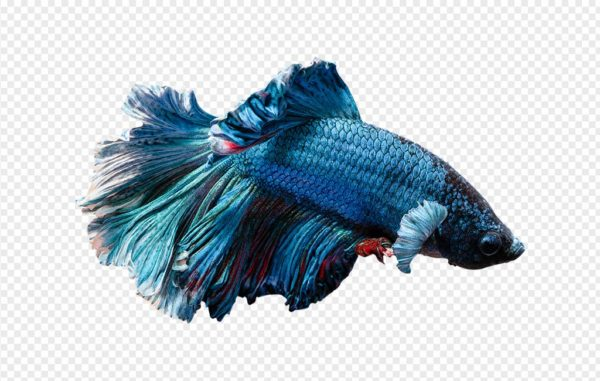 Blue Betta Fish PNG
