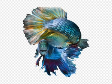Blue Betta Fishes PNG