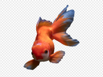 Golden Fish PNG